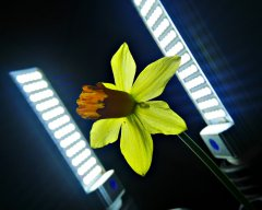 LED lighting demo. 2016-02-10 daffodil lit by two 1000 lumen continuous daylight LED studio lights